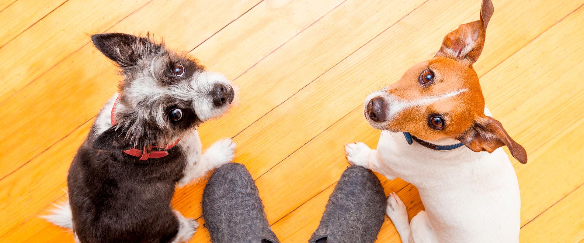 Perritos viendo a su dueño.