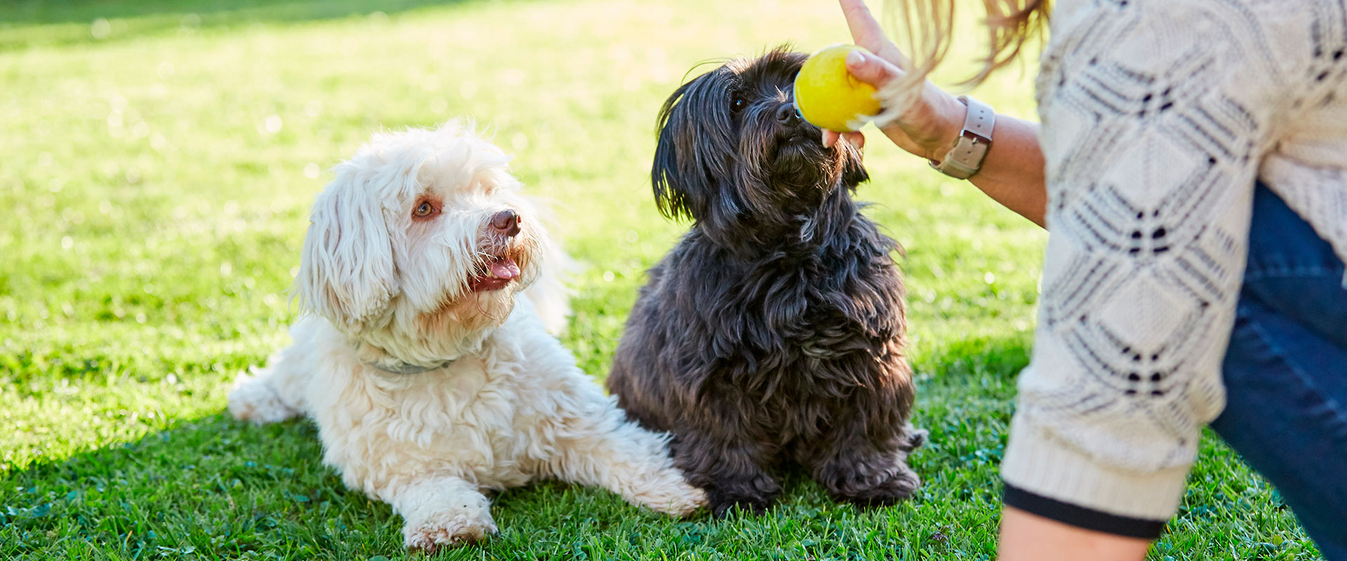 Dos perritos volteando a ver la pelota que trae su dueña en la mano.