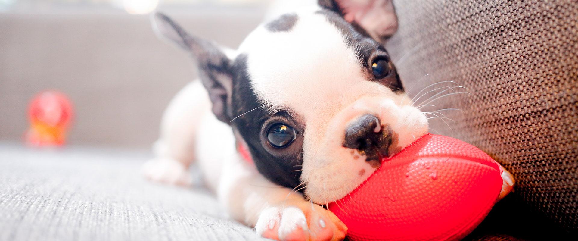 Cachorro jugando con su juguete sobre el sillón.