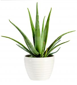 Plantita purificadora, Aloe Vera.