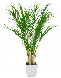 Plantita purificadora, Palma de Bambú.